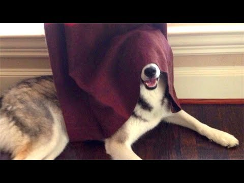 Cute Dogs Playing Hide and Seek With Owners Compilation 2017