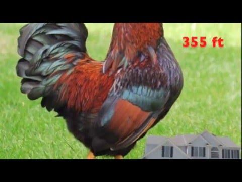 World's Largest Chicken - YouTube