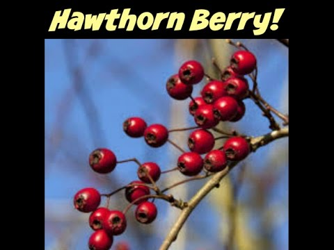 HAWTHORN Berries for Heart Health, Blood Pressure, Cholesterol & More!