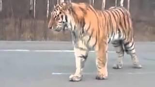 Самые смешные ржачные приколы (83) Тигр На Дороге! раион Хабаровска