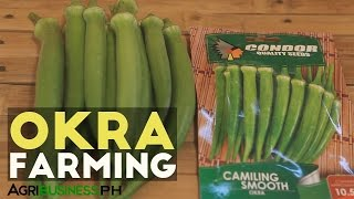 Growing and harvesting okra the best way #Agriculture