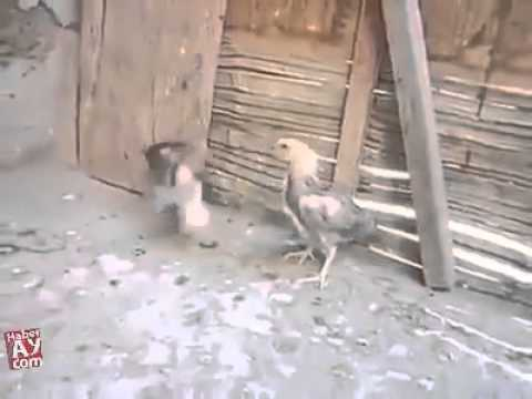 Mianwali aseel chicken fight
