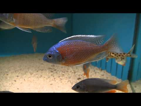 Pretty freshwater tropical fish