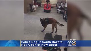 Police Dog In South Dakota Not A Fan Of New Boots