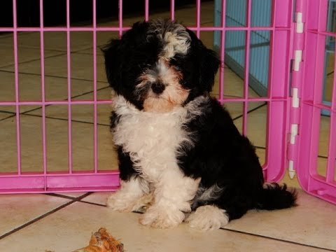 Havanese Puppies Dogs For Sale In Charleston South Carolina Sc