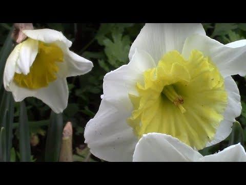 Нарциссы весной.  Что делать с нарциссами после цветения?