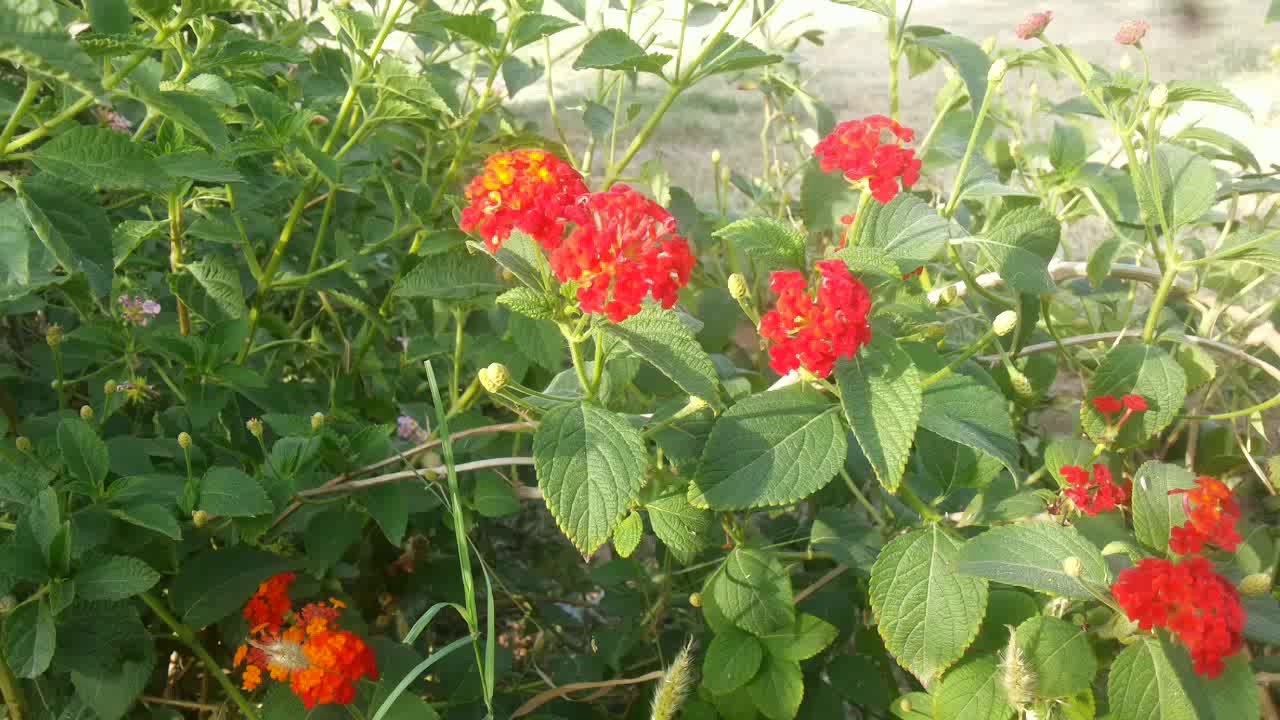How To Grow Lanatna From Seeds How To Propagate A Lantana Hindi
