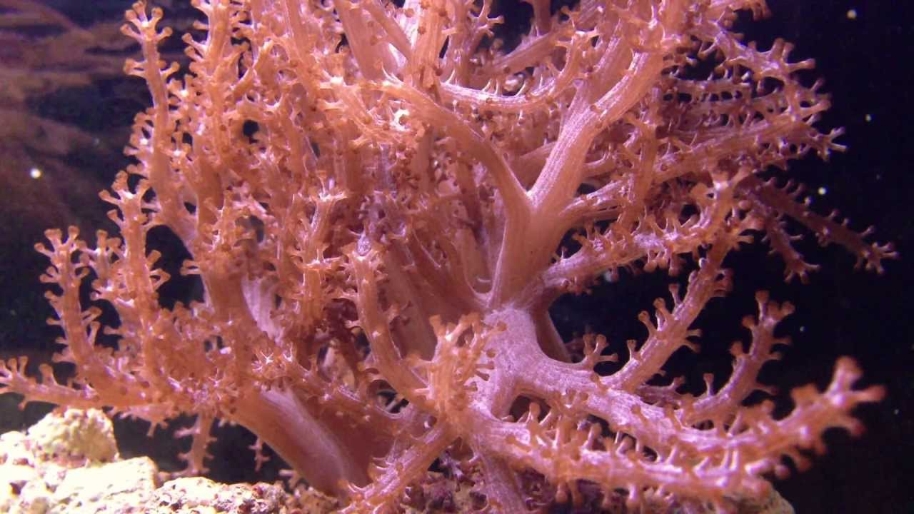 Kenya Tree Coral Capnella Sp 2 Youtube