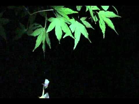 ナゲナワグモ捕食行動 - YouTube
