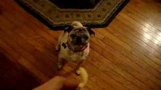 My Pug Dancing For A Treat
