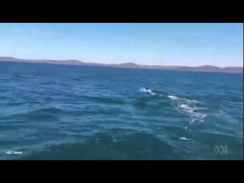 South Australian fishermen spot shark in Port Victoria