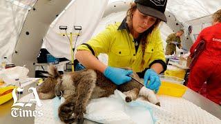 Saving Koalas off Australia's southeast coast