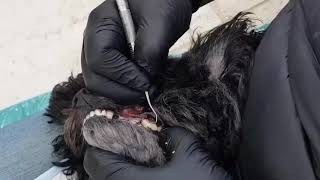 Dog Teeth Cleaning with no anesthesia - Dr Cesar and Lexi