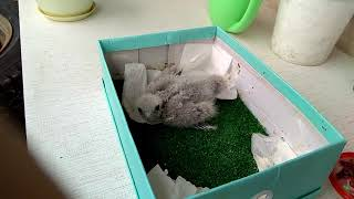 Выкармливание птенцов хищных птиц. Кормление сокола чеглока (falco subbuteo, hobby falcon)