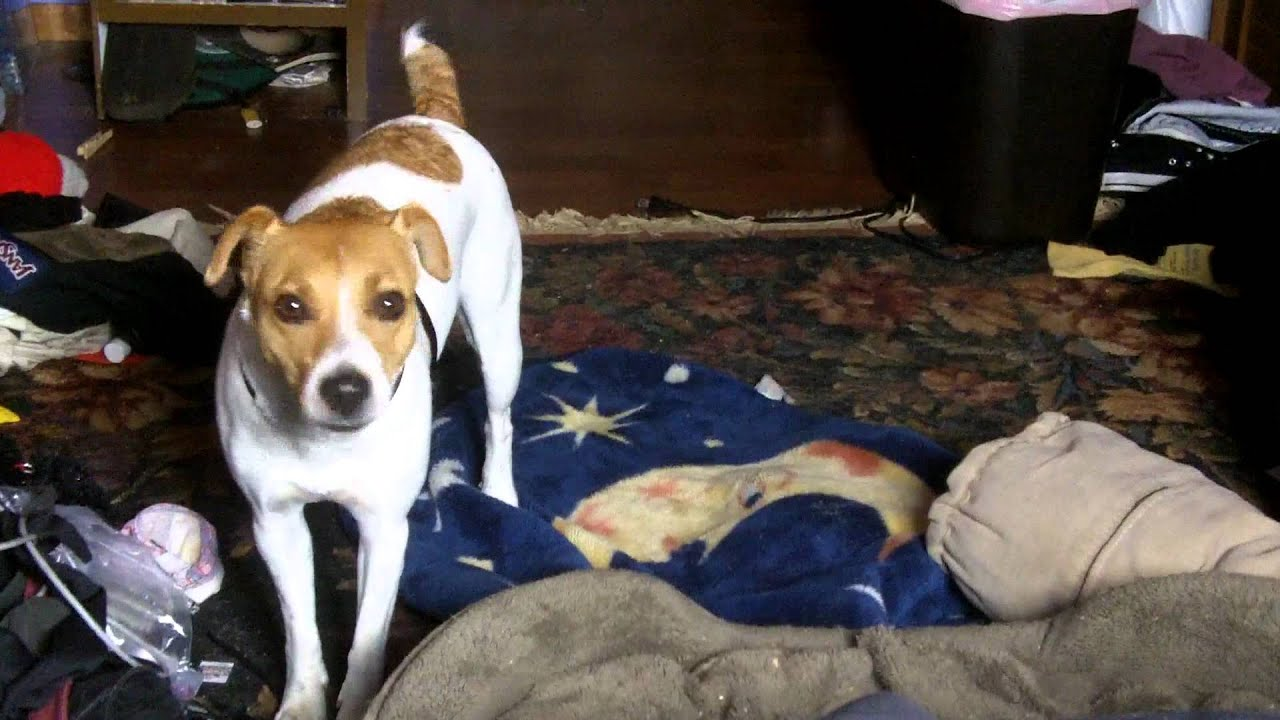 Jack russell terrier listens to through a dogs ear music to calm your canine companion youtube - Jack russel queue coupee ...