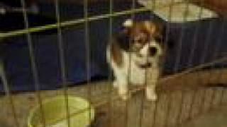 Papillon Loki Adjusting To His Playpen