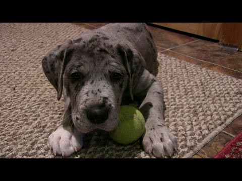Great Dane Puppy plays with tennis ball