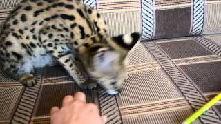 Продажа ручного котенка африканского сервала. Питомник Nikita'L