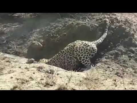 Leopard vs wild boar. Leopard dug up the wild boar of hidden in a burrow
