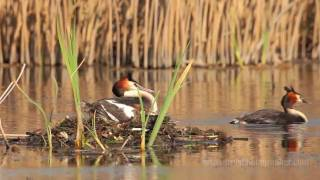 Great Crested Grebe Nesting (720p) Captured with Canon 5D Mark II and Sigma 300-800mm f/5.6