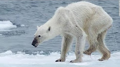 Polar Bear Dying From Global Warming