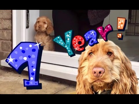 A Whole Year In The Life Of A Cocker Spaniel Puppy Dog ** MUST WATCH **