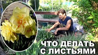 Уход за нарциссами  после цветения, что делать с листьями , а также почему не цветут нарциссы