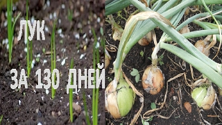 Посев лука семенами