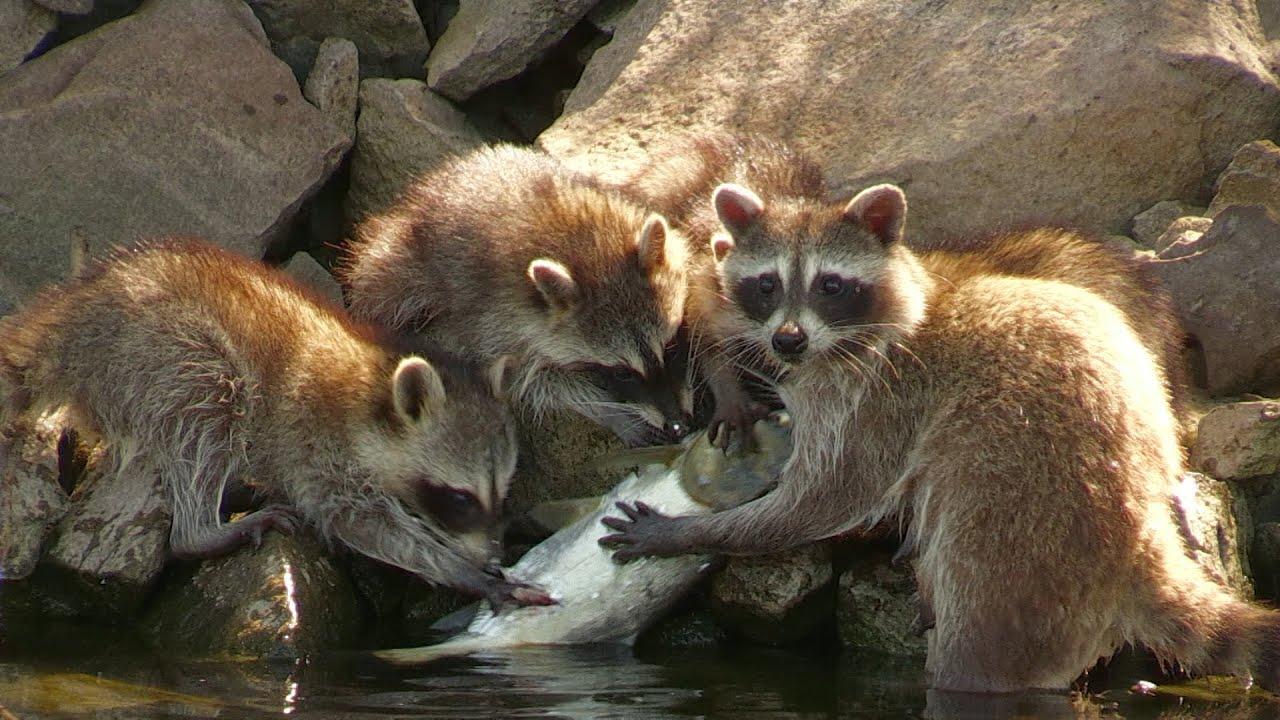 Pack of Raccoons Devour Bighead Carp on Kentucky Lake - YouTube