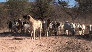 Contre les guépards, la Namibie redécouvre le chien de berger