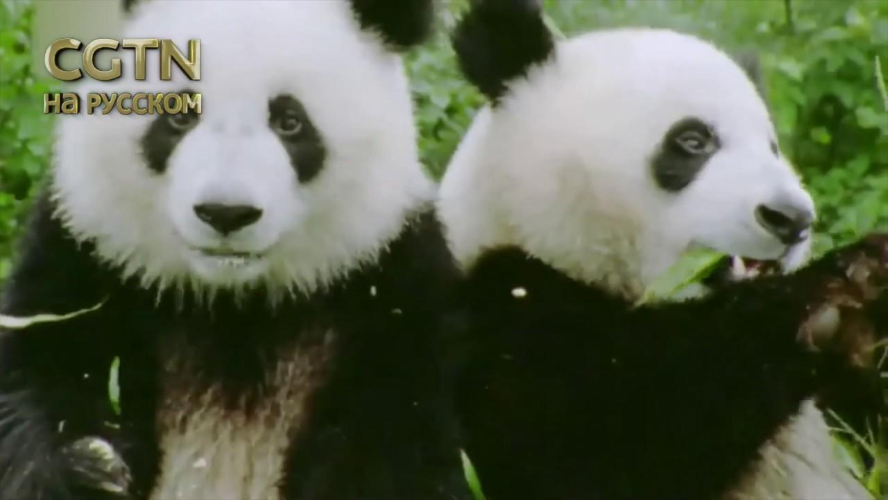 Взрослая панда может тратить 14 часов в день на еду