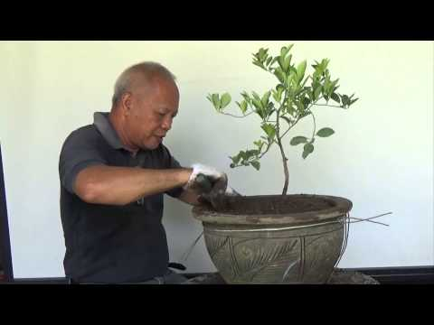 Bonsai Tutorials for Beginners: How to bonsai a Lemon tree from Nursery Stock.