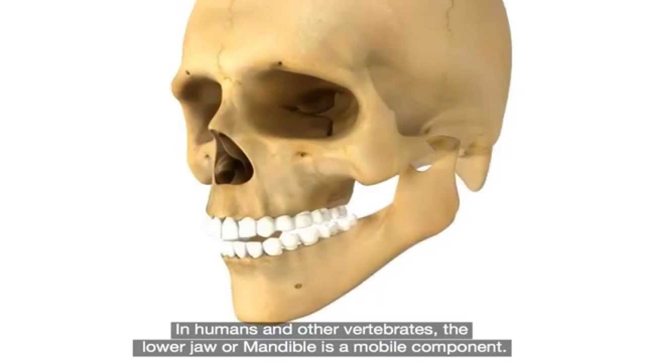 Basic Dental Anatomy Mouth Youtube
