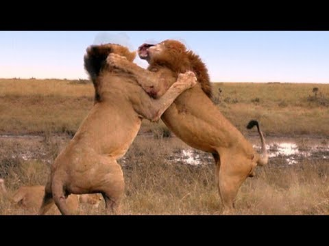 Lion Vs Jaguar - Wild Animals Documentary National Geographi