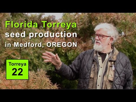 Florida Torreya Seed Production in Medford, Oregon (2017)