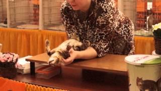 Бенгальский котенок 3 мес. Russicats Lambada