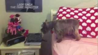 Crazy Schnauzer Barking