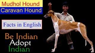 Caravan Hound Facts in English - Mudhol Hound Facts in English   Indian Dogs Dog Facts in English