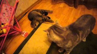 Кошка после совокупления. Шотландские котики. Вязка котов.