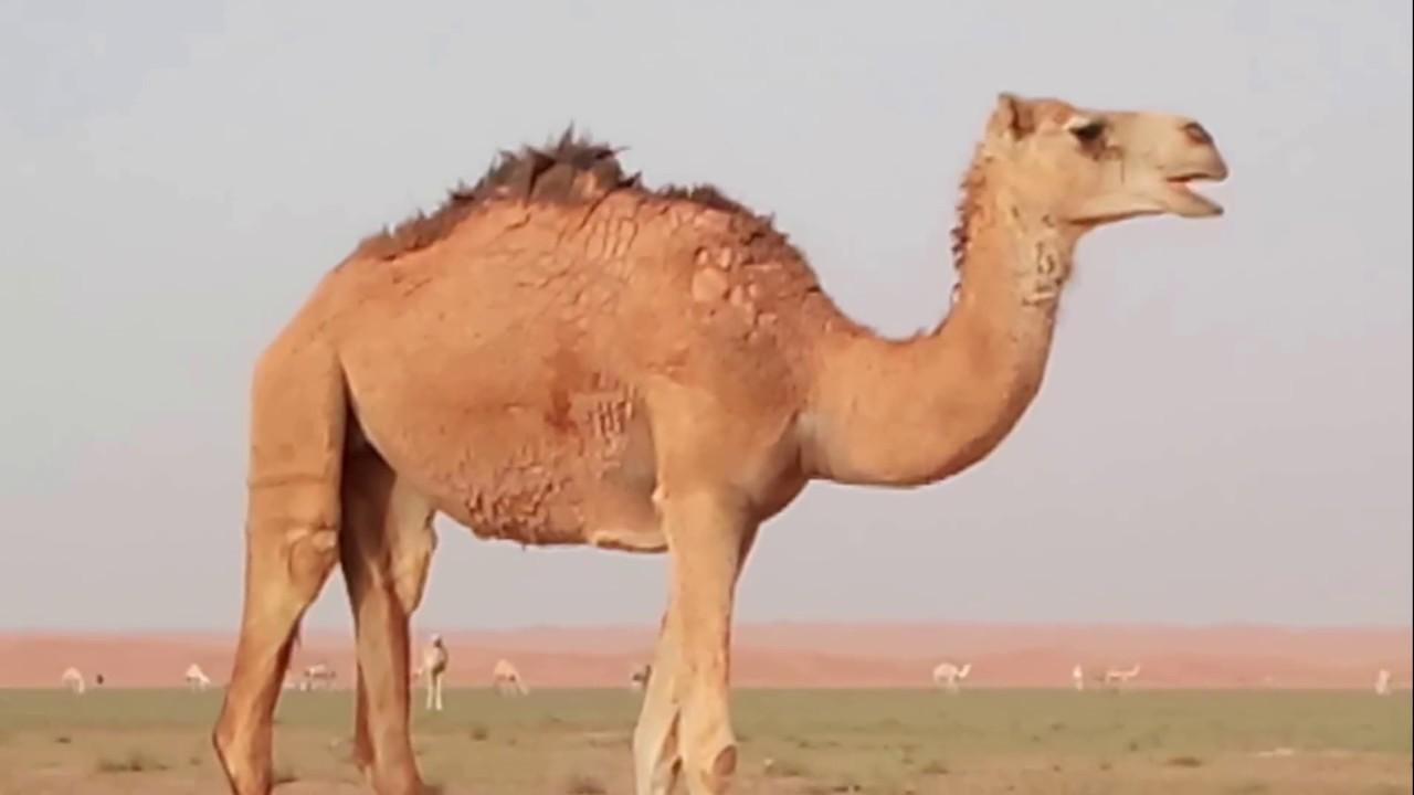 Life of desert - Camels - YouTube