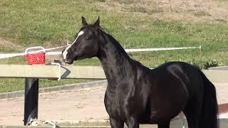 Чистокровная вороная арабская лошадь - кобыла импорт из Голландии