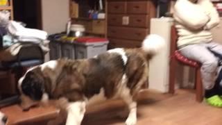 ぐるぐる遊ぶ犬のような動物(笑) 2匹が暴れると家が揺れる笑.