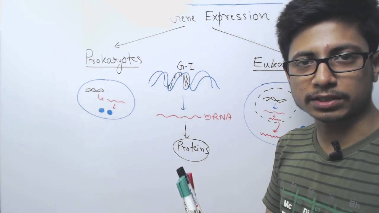 Difference between prokaryotic and eukaryotic gene expression difference between prokaryotic and eukaryotic gene expression youtube pooptronica Gallery