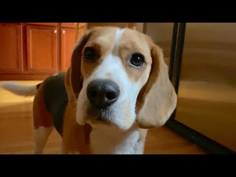 Cute beagle wants brunch