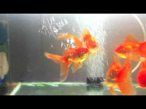 Goldfish Spawning Behavior