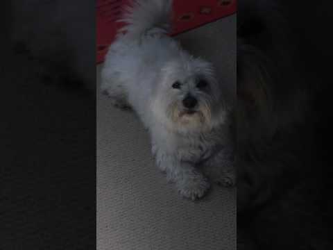 Coton de Tulear -  talking and singing dog
