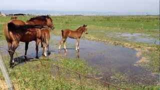 The Proper Way to Imprint a Horse - Why Human Imprinting Fails- Rick Gore Horsemanship