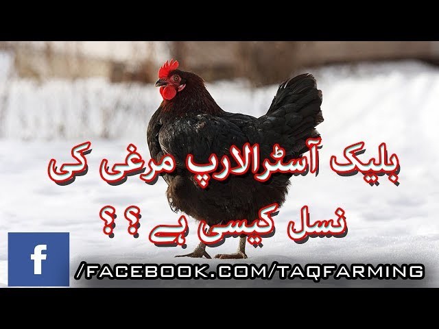 Black Australorp Breed Introduction in Urdu