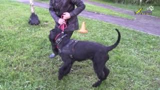 Дрессировка возбудимых собак, удавка, мяч, массаж, движение рядом, воспитание ризеншнауцера