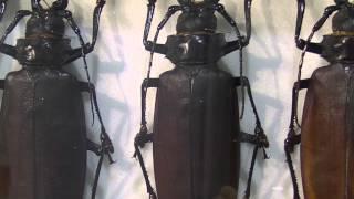 巨大カミキリ::Titan beetles & Longhorn Beetles(Macrodontia cervicornis)